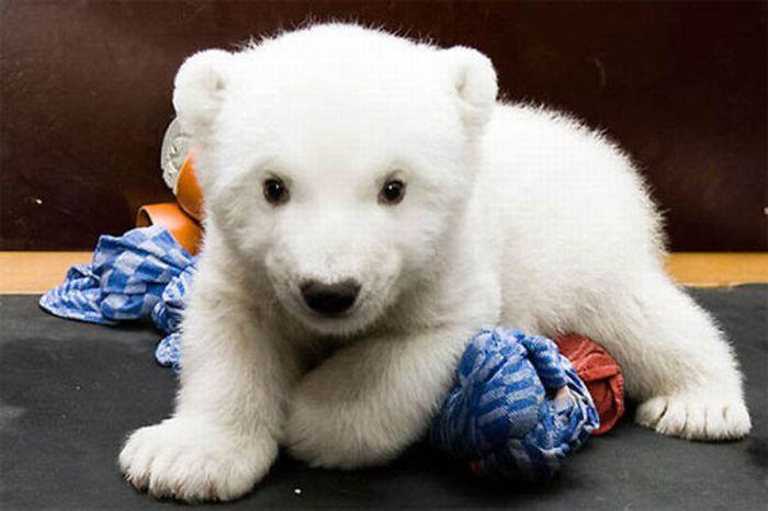 A vida e morte de Knut, o urso polar 04