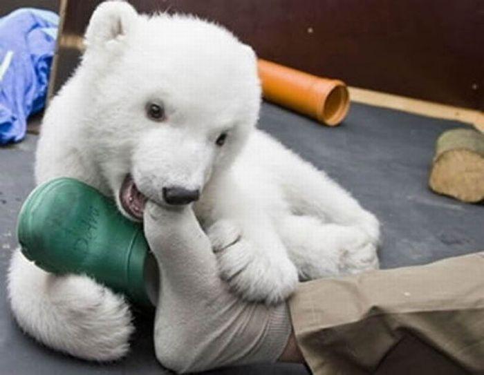 A vida e morte de Knut, o urso polar 05