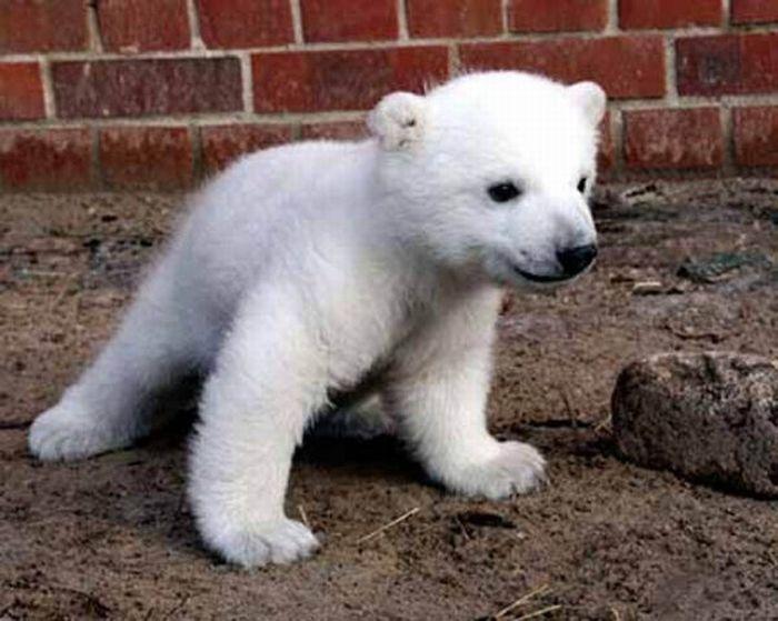 A vida e morte de Knut, o urso polar 07