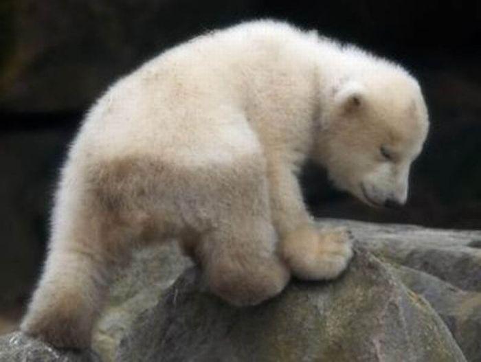 A vida e morte de Knut, o urso polar 08