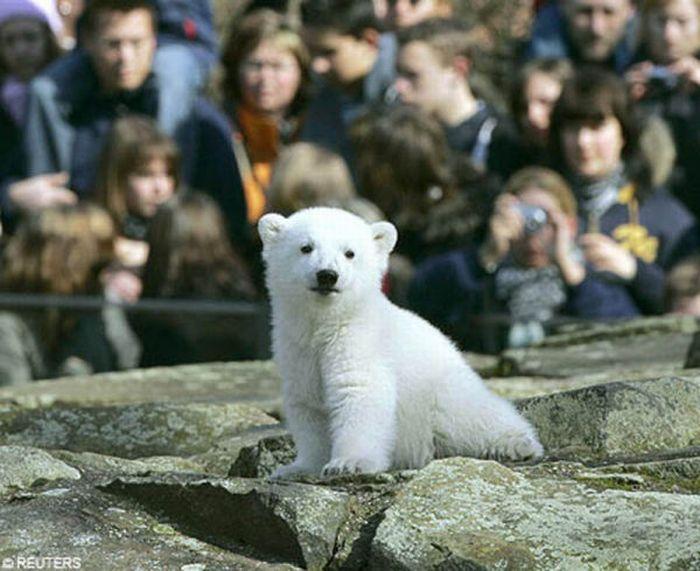 A vida e morte de Knut, o urso polar 09