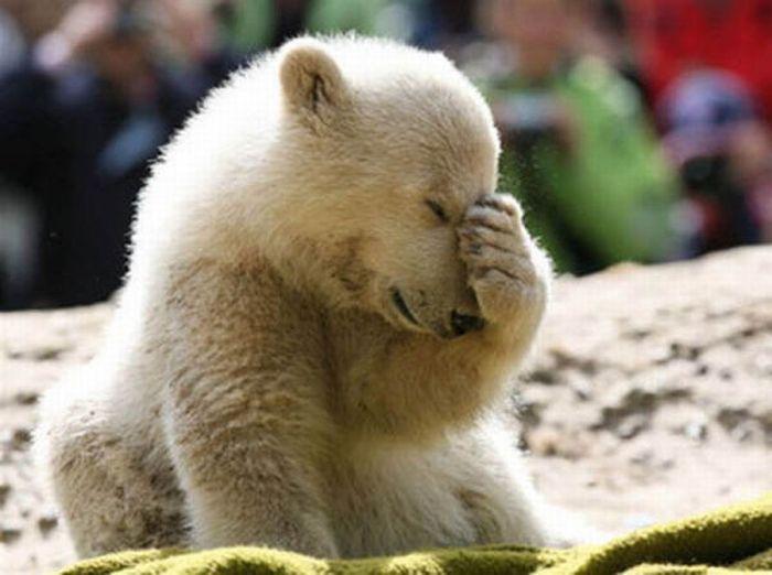 A vida e morte de Knut, o urso polar 16