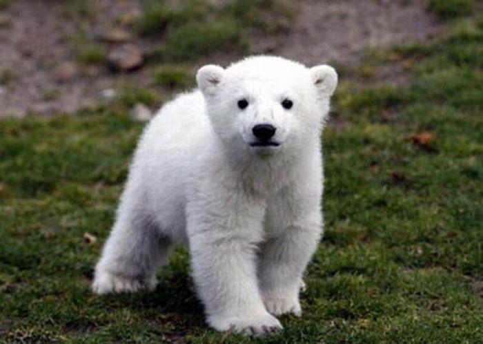 A vida e morte de Knut, o urso polar 17