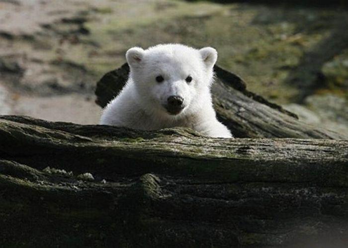 A vida e morte de Knut, o urso polar 18