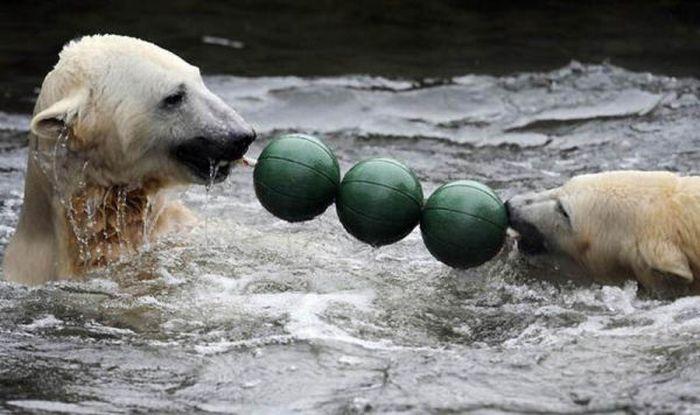 A vida e morte de Knut, o urso polar 19