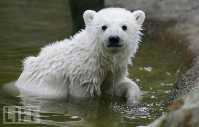 A vida e morte de Knut, o urso polar 20