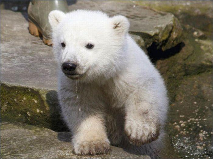 A vida e morte de Knut, o urso polar 21