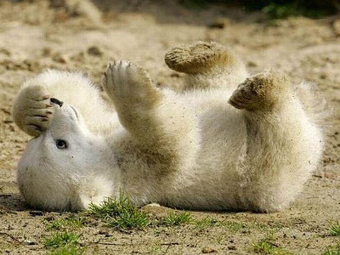 A vida e morte de Knut, o urso polar 22