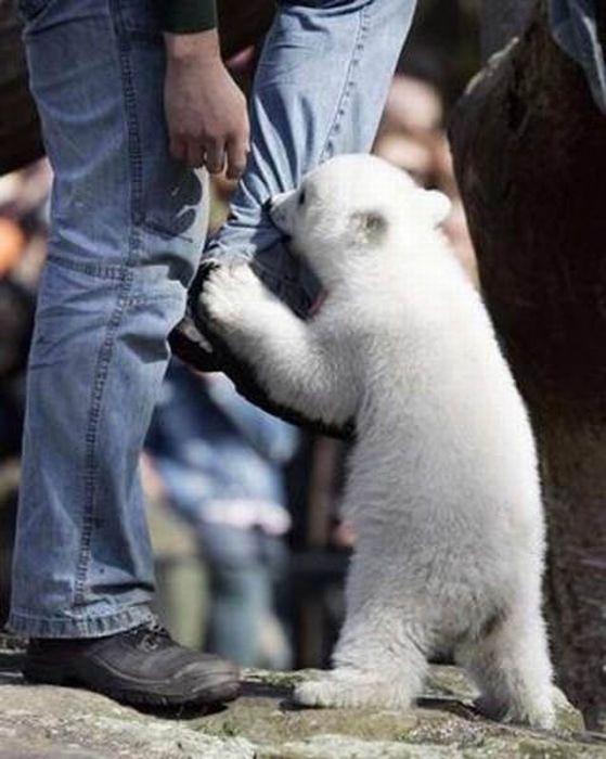 A vida e morte de Knut, o urso polar 23