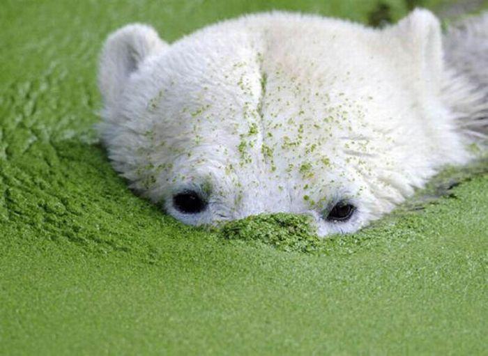 A vida e morte de Knut, o urso polar 25