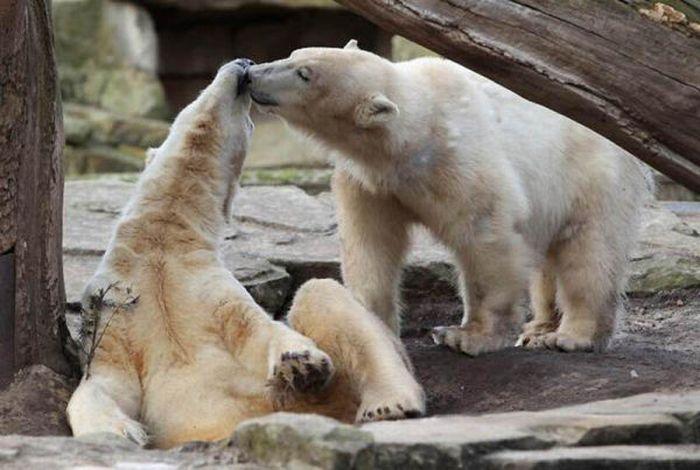 A vida e morte de Knut, o urso polar 26