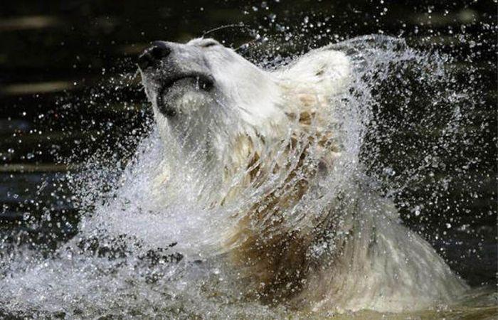 A vida e morte de Knut, o urso polar 27