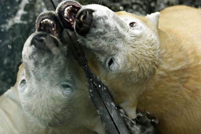 A vida e morte de Knut, o urso polar 29