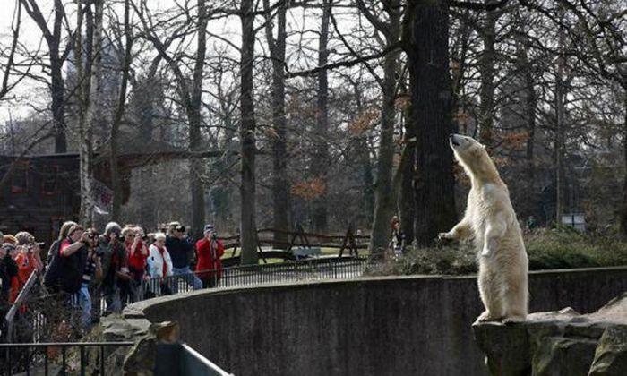 A vida e morte de Knut, o urso polar 31