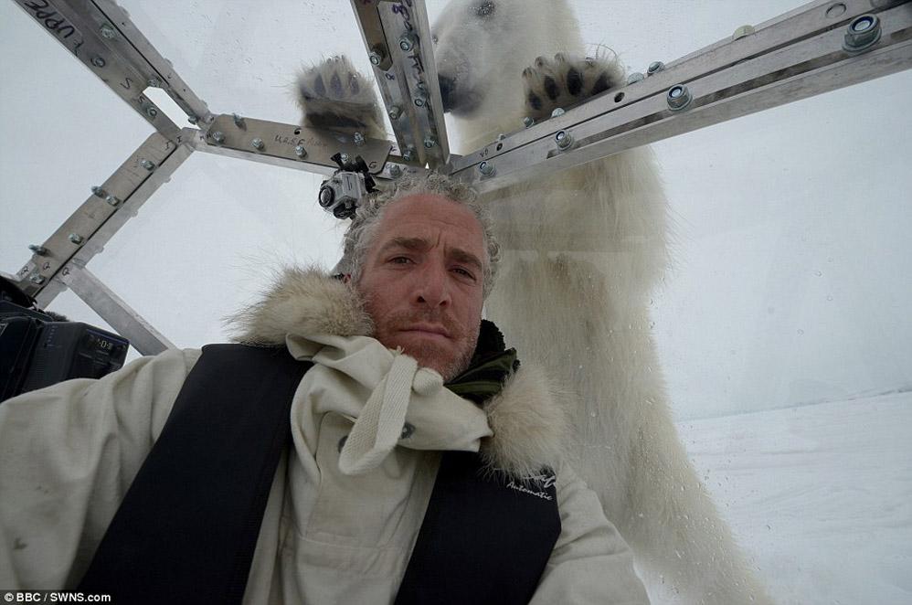 Encontro muito próximo com uma ursa polar