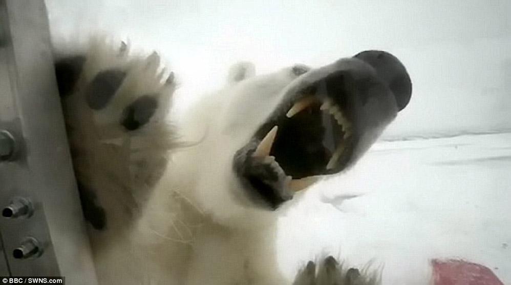 Encontro muito pr�ximo com uma ursa polar