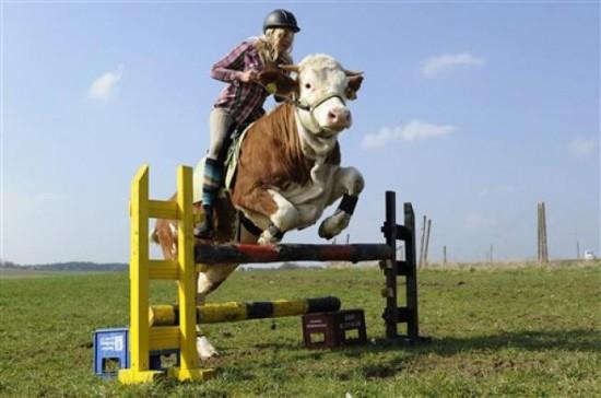 Garota alemã treina vaca para saltar obstáculos