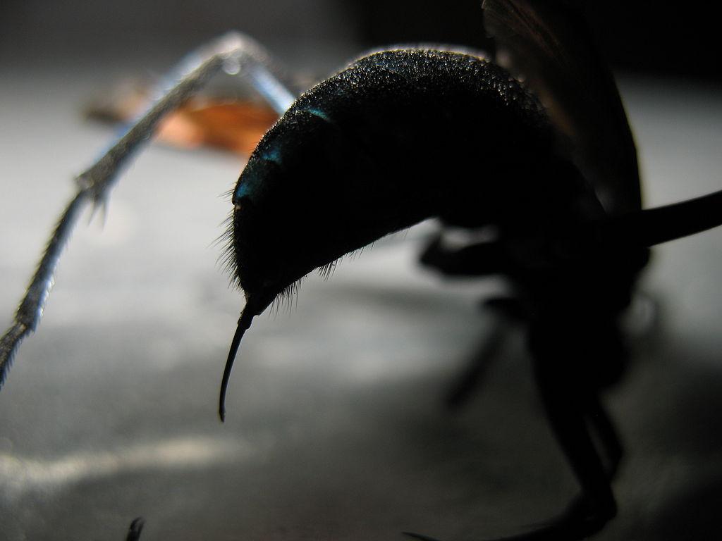 A picada desta vespa é tão insuportável que a única coisa a fazer é deitar e gritar