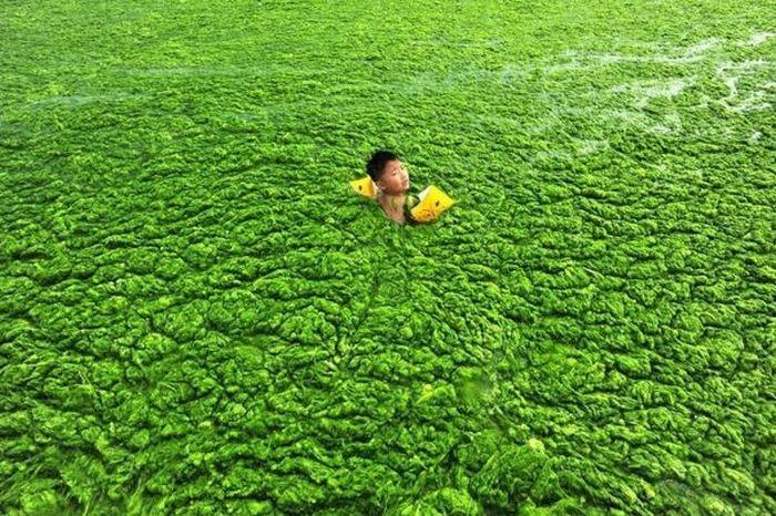 Praia chinesa invadida por algas 03