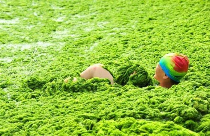 Praia chinesa invadida por algas 04