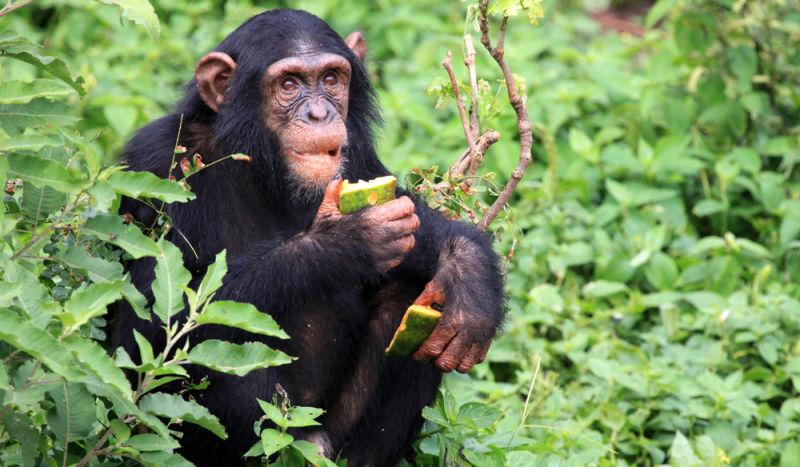 Não, os humanos não são naturalmente veganos, o consumo de carne nos ajudou a evoluir