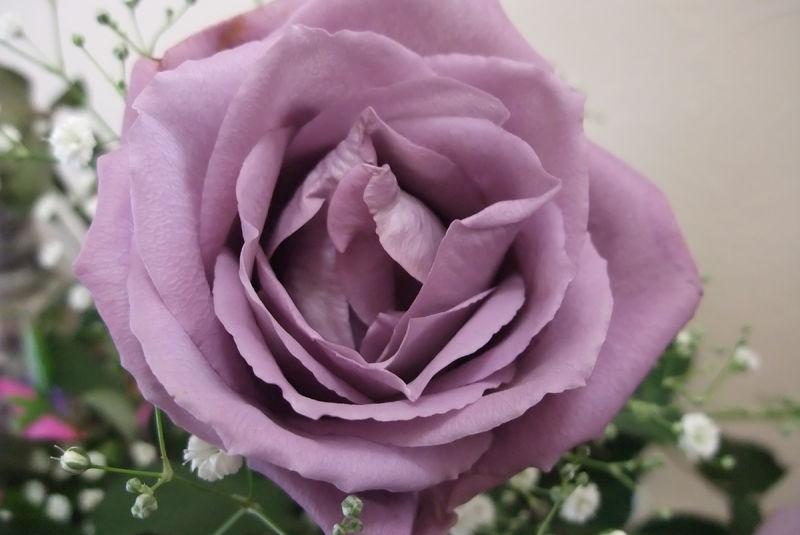Por que as rosas azuis em realidade não são naturais (e nunca poderão ser)
