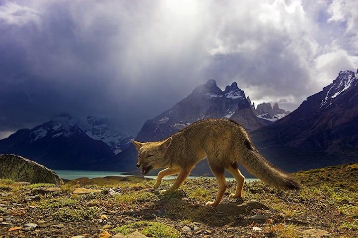 Fotos espetaculares da vida selvagem em deamáticas paisagens 05