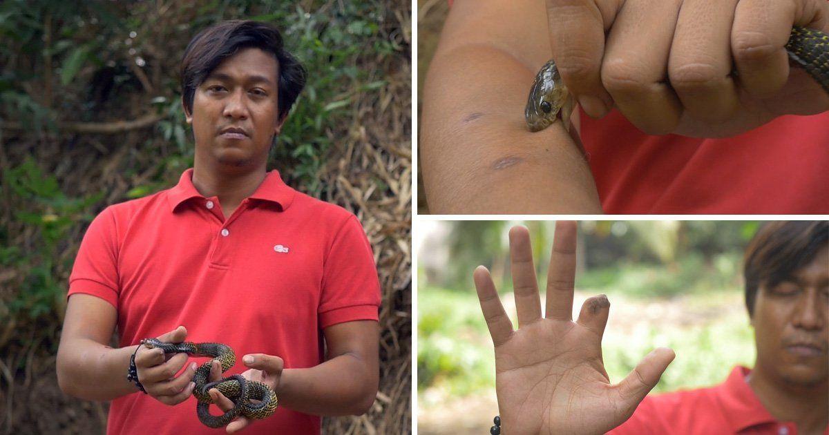 Coletor de cobras se deixar ser picado toda semana para desenvolver imunidade ao veneno
