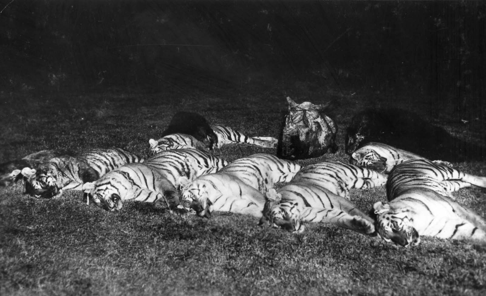 Em 1911 a realeza britânica foi à Índia para ser coroada e aproveitou para caçar 19