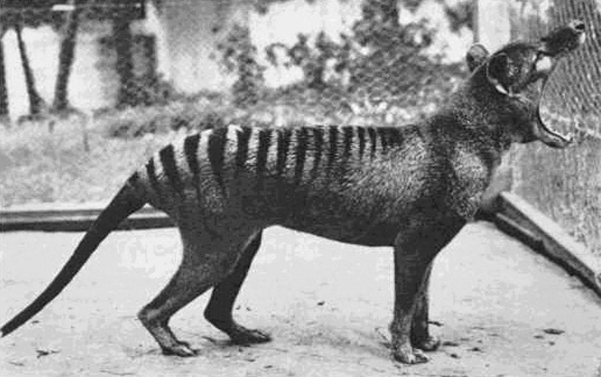 A triste história dos últimos tigres da Tasmânia 01