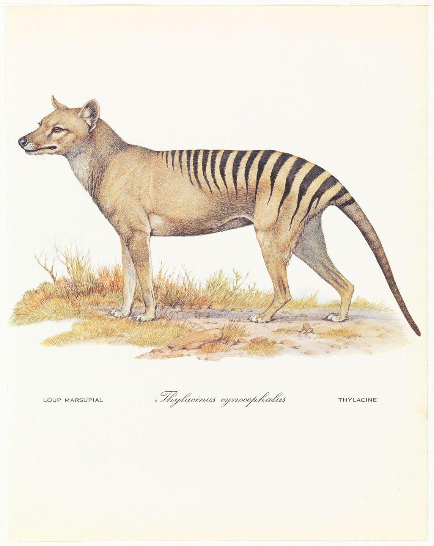 A triste história dos últimos tigres da Tasmânia 03