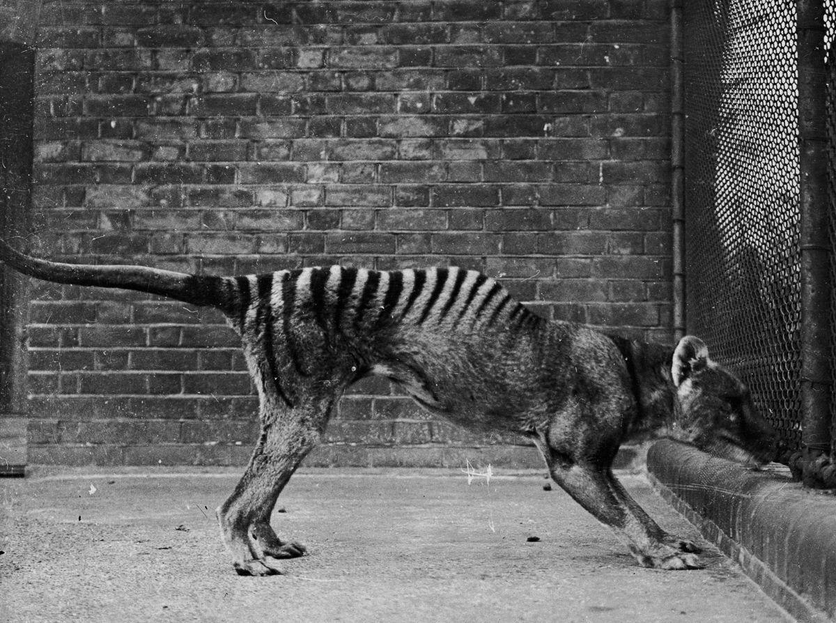 A triste história dos últimos tigres da Tasmânia 04