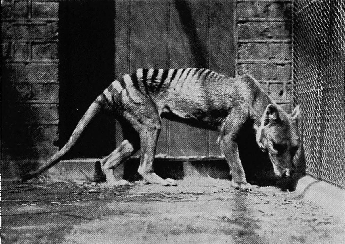 A triste história dos últimos tigres da Tasmânia 05