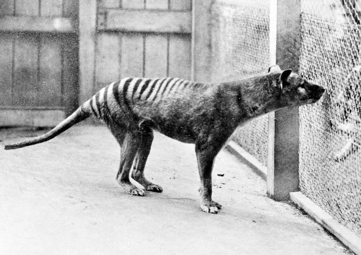 A triste hist�ria dos �ltimos tigres da Tasm�nia 06