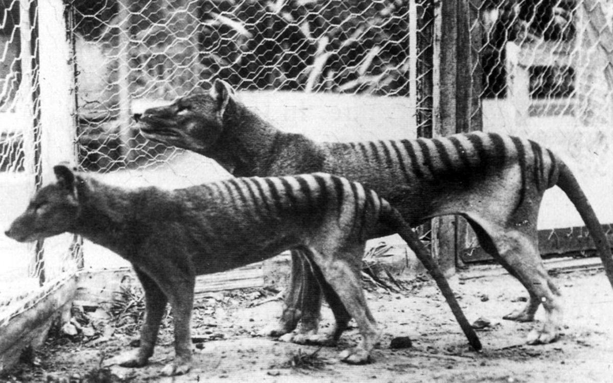 A triste história dos últimos tigres da Tasmânia 07