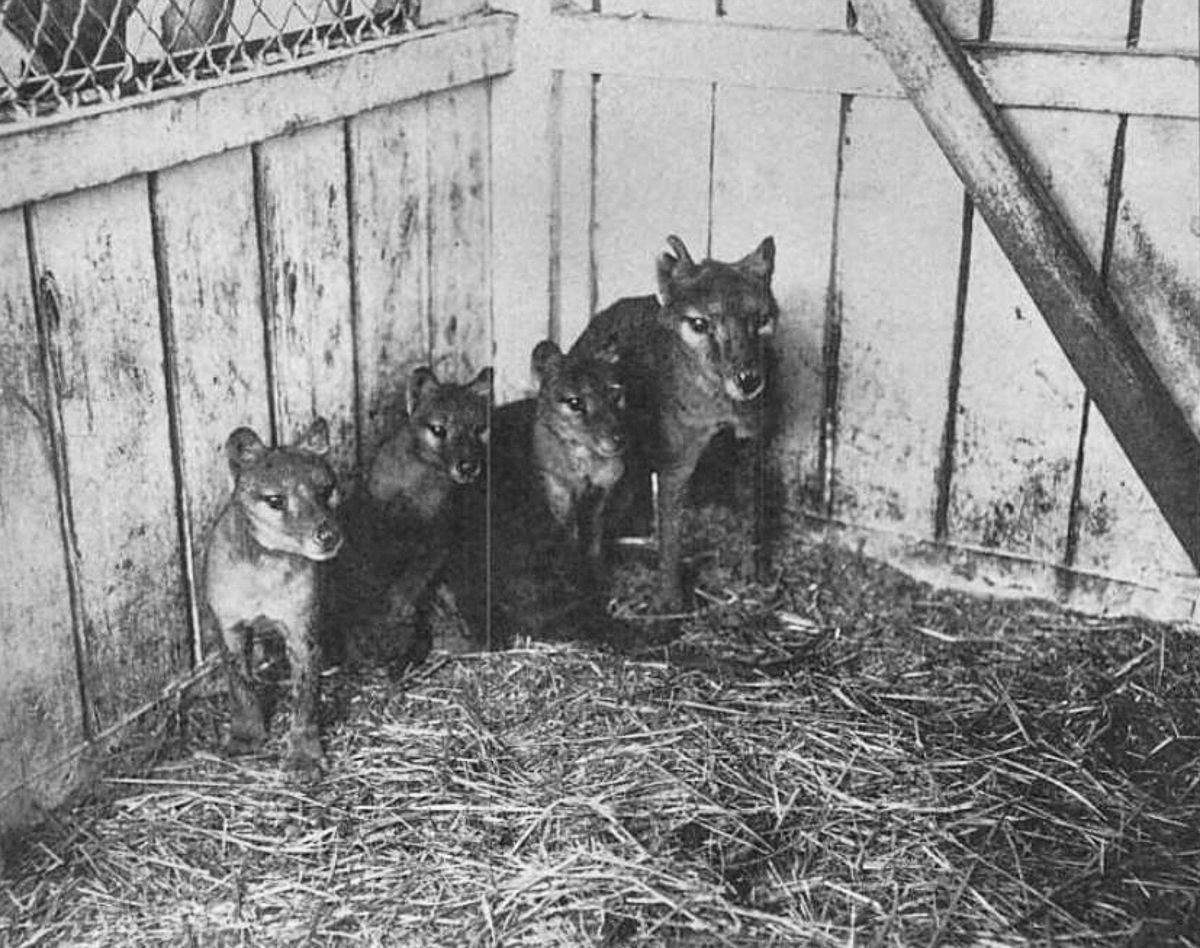 A triste história dos últimos tigres da Tasmânia 09
