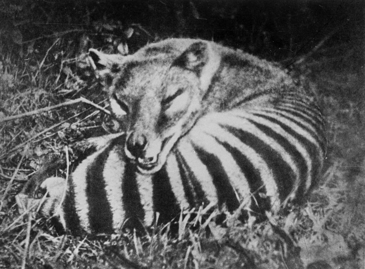 A triste hist�ria dos �ltimos tigres da Tasm�nia 10