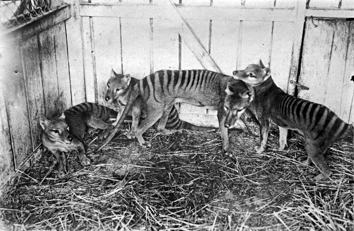 A triste hist�ria dos �ltimos tigres da Tasm�nia 11