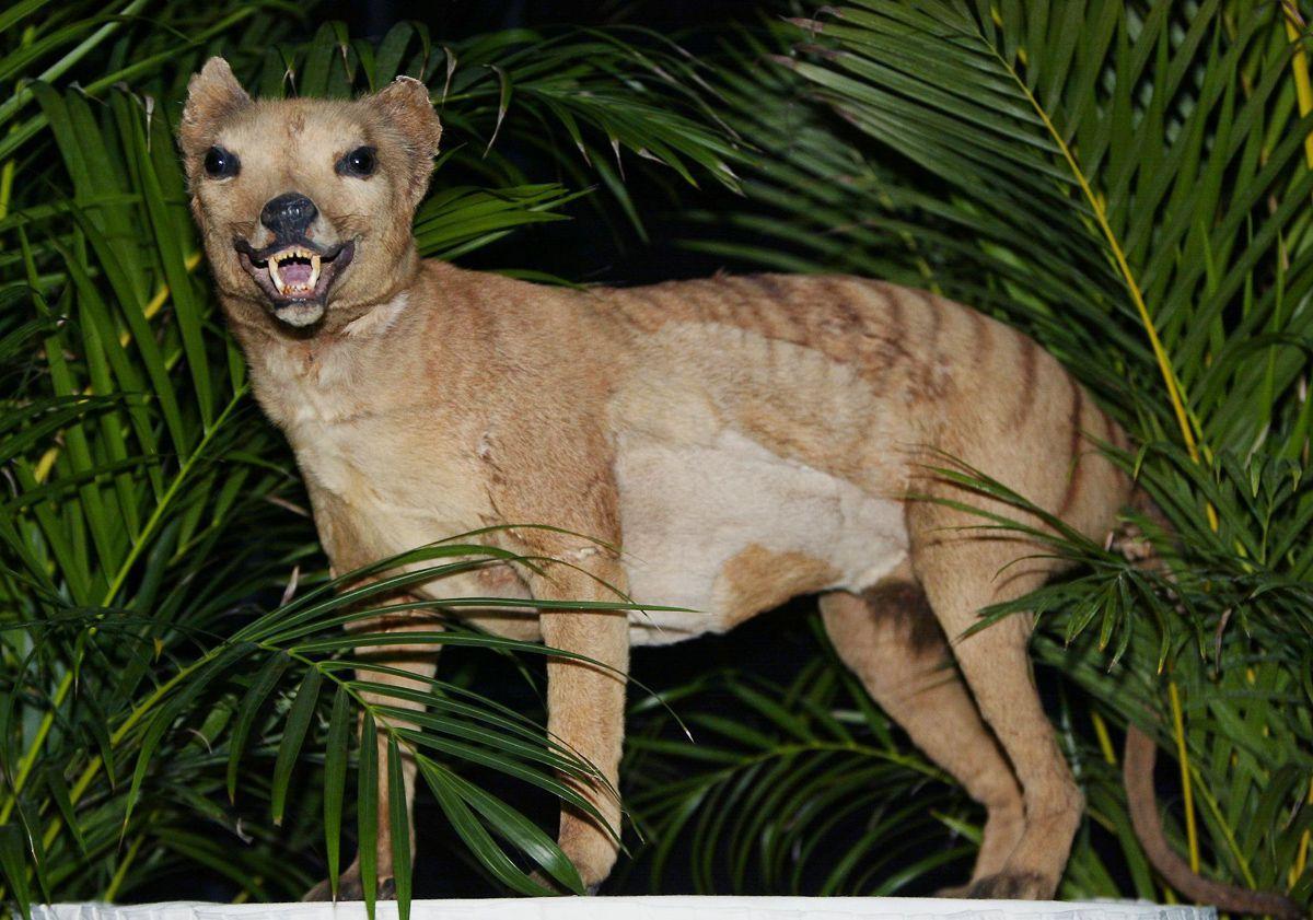 A triste hist�ria dos �ltimos tigres da Tasm�nia 12