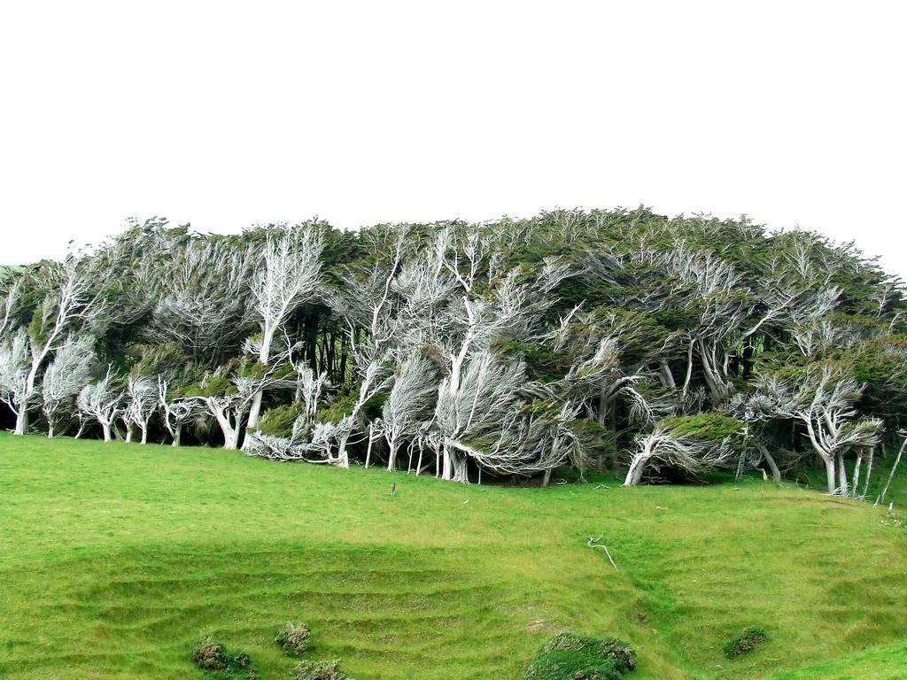 As árvores do vento na Nova Zelândia 07