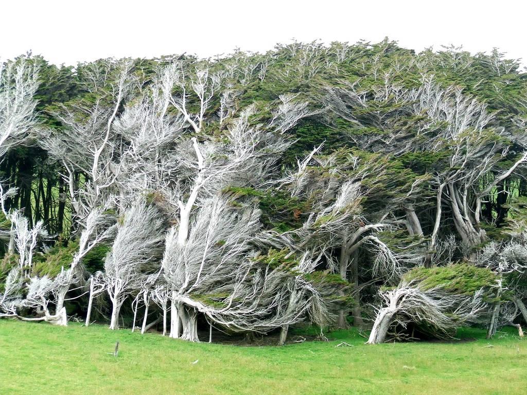 As árvores do vento na Nova Zelândia 08