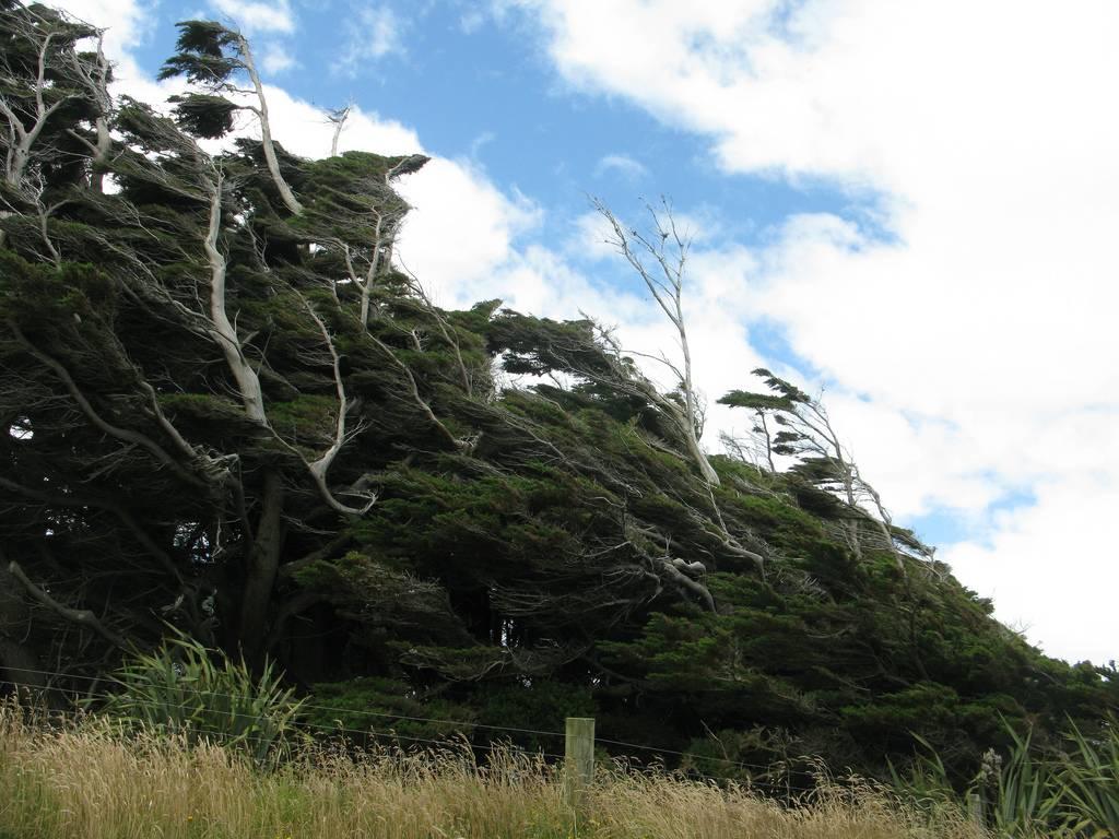 As árvores do vento na Nova Zelândia 11