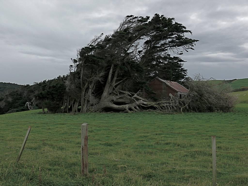As árvores do vento na Nova Zelândia 12