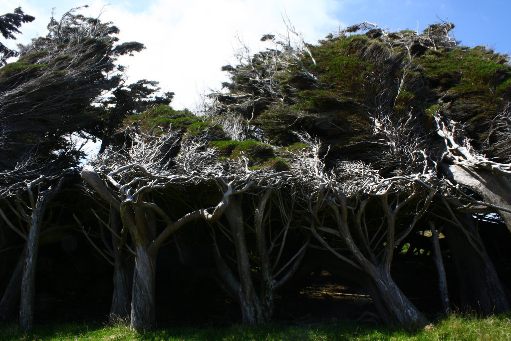 As árvores do vento na Nova Zelândia 13