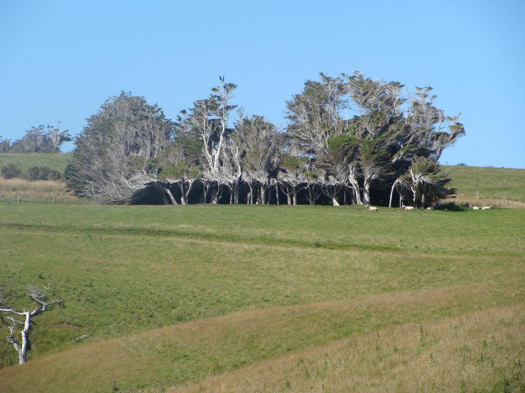 As árvores do vento na Nova Zelândia 14