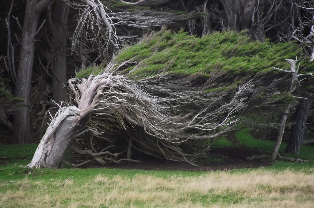 As árvores do vento na Nova Zelândia 15