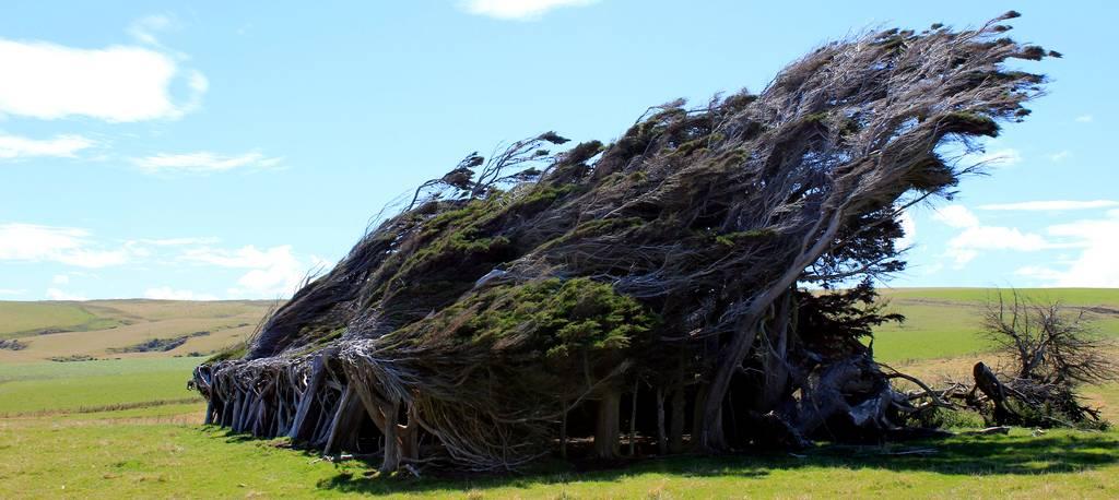 As árvores do vento na Nova Zelândia 17