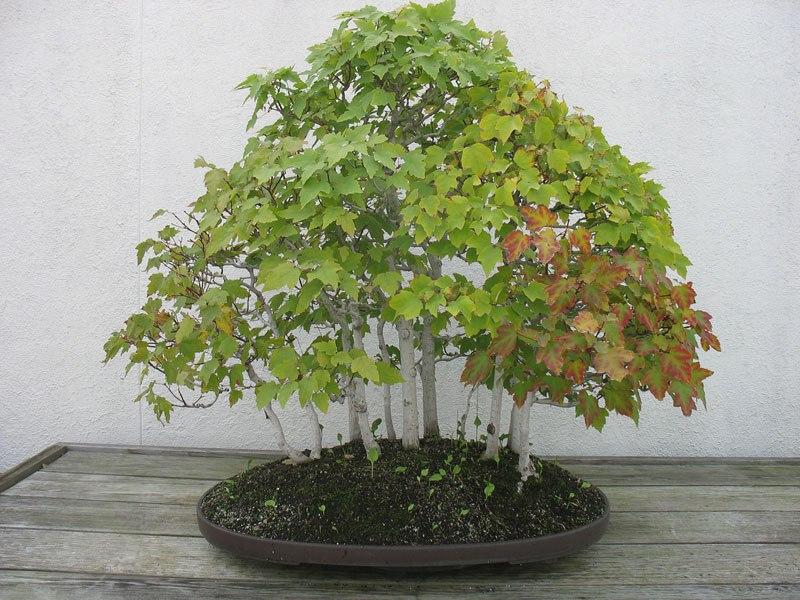 20 bosques de bonsais que vão parecer autênticas obras de arte em miniatura 06