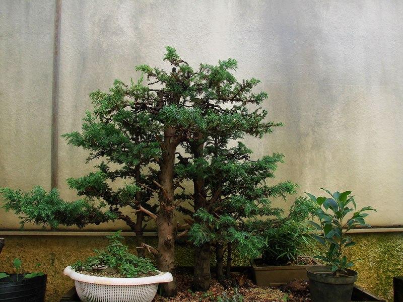 20 bosques de bonsais que vão parecer autênticas obras de arte em miniatura 07