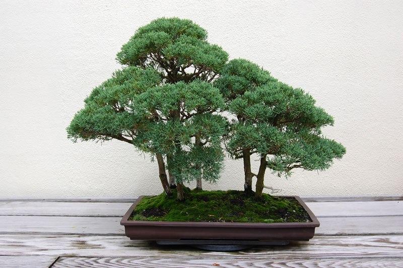 20 bosques de bonsais que vão parecer autênticas obras de arte em miniatura 13